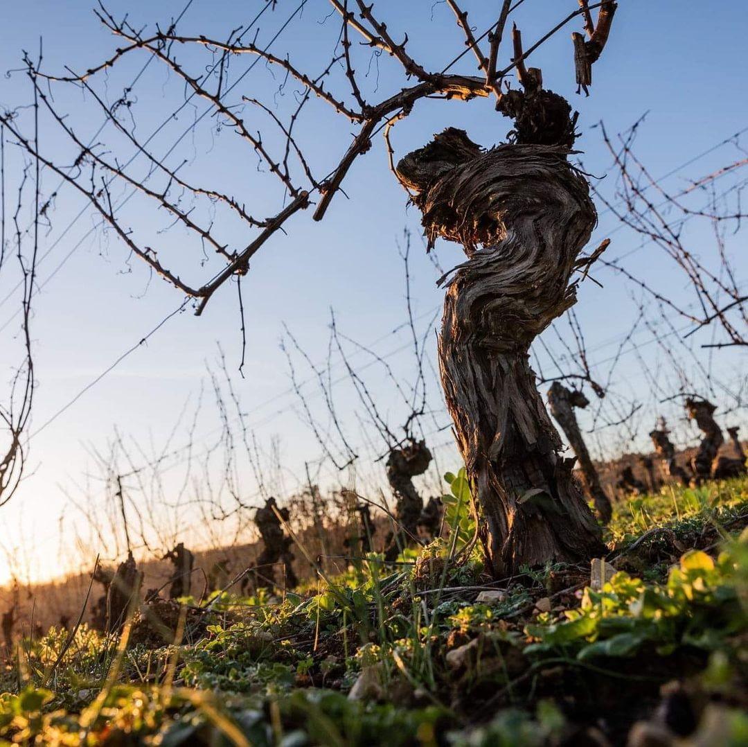Mas del Périé - vigne